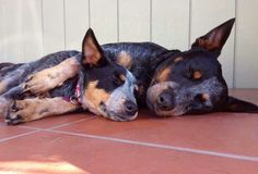~♥•♥~  Two Blue Heelers sleeping together.