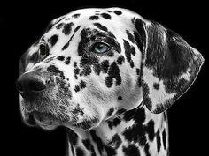 Pro Jahr werden 820 Dalmatiner-Welpen in Deutschland gemeldet #Hund #Statistik #Deutschland #Dalmatiner #WievieleHundegibtesinDeutschland