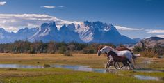 Horses (stallion, mare and foal) are running on the beautiful background of Chilean Andes. Torres del Paine National Park, Ultima Esperanza ...