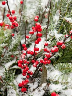 Winter Inspiration - Red Berries in the Snow