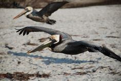 """Skimming Over The Beach"" -  10 March 2010, 08:09 hrs. EST -  Little Estero Island Critical Wildlife Area -  Estero Island -  Fort Myers Beach, Florida, United States -  Global Coordinates: 26.411758, -81.902448 degrees - © 2010 Arthur M. Brady, Jr."