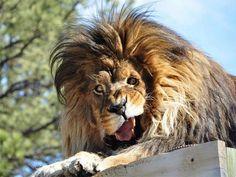 #funny #lion
