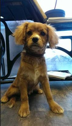 Lola Cavalier puppy chooses a classic look in padded brown with cream lining