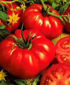 Beef Tomato 'Beefmaster' F1 Hybrid Tomato 'Beefmaster' F1 hybrid (Lycopersicon esculentum) can grow to as much as 450 gr per fruit if you mulch them regularly with some mature compost – add it both before and during cultivation. Top the plants after three or four flower clusters have formed.