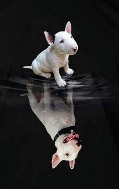 Bull Terrier 'Dreamer-Pup'  ..>cjk Bull Terrier For Sale, Mini Bull Terriers, Bull Terrier Puppy, Miniature Bull Terrier, English Bull Terriers, Terrier Dogs, Funny Dog Faces, Cute Funny Dogs, Bully Dog