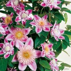 Clematis 'Josephine' TM Evijohill (N) jetzt günstig in Ihrem MEIN SCHÖNER GARTEN - Gartencenter schnell und bequem online bestellen.