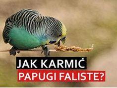 Jedzenie dla papugi falistej.