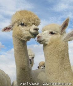 Alpacas talk to eachother using their ears.. When they are straight up in the air they are usually excited, happy or curious.. and when they are straight back they are either warning to another to back off, or they are mad or scared. Its neat watching them converse with their ears.
