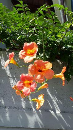 Cute Kawaii Drawings, You Draw, Orange Flowers, Flower Wallpaper, Native Plants, Amazing Flowers, Vines, Campsis, Bloom