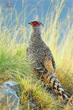 Cheer Pheasant (Catreus wallichi)