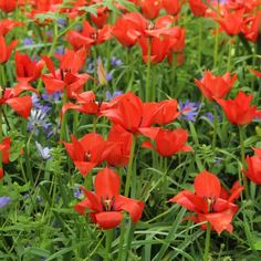Tulipa linifolia February 2018 Know What You Grow