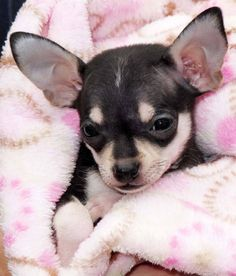 #Chihuahua snuggling waiting for you to arrive...found on fundogpics.com
