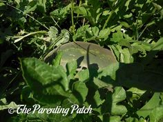 How to Grow Watermelon in a Home Garden: An Illustrated Guide | Parenting Patch