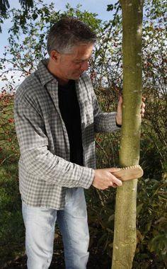 Im Herbst klettern die Frostspanner-Weibchen in die Obstbäume, um ihre Eier abzulegen. Mit Leimringen lässt sich ein Frostspanner-Befall verhindern. Für den Erfolg müssen Sie allerdings ein paar wichtige Regeln beachten