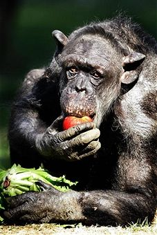 chimpanzee politics power among apes