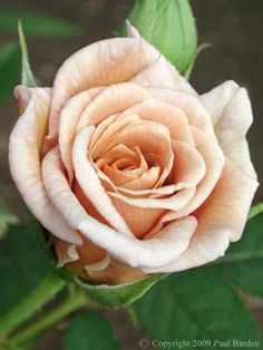 Rogue Valley Roses | Specializing in rare, antique, and ...