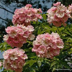 KORDES Rosen Apple Blossom - Kletterrosen - Gartenrosen Die schönsten Rosen der Welt Kordes Rosen, Upcycle, Floral Wreath, Wreaths, Garden, Plants, Roses, Decor, Patio