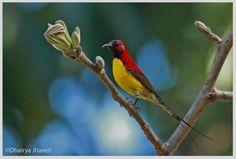 Mrs. Gould's sunbird (Aethopyga gouldiae)