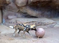 Photo Credit:  Celeste Dunn-Boyer  An African wild dog at the Denver Zoo today playing with his toys.