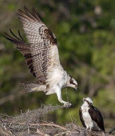 Osprey with moss