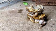 Тростниковые жабы ядовиты, а на северо-востоке Австралии они встречаются практически повсеместно. Так как же поступать с избытком жаб?Некоторые люди пытаются избавиться от них, потому что тростнико…