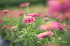 Dahlia May Flower Farm / pink Zinnias