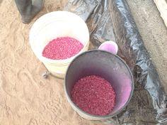 Sigue el proceso de siembra de semilla de cafe cama en germinadora de arena. Se coloca la semilla cada 2 cm, dando una densidad de 2500 semillas por metro cuadrado, si bien el proceso es lento comparado a sembrar al boleo, pero permite controlar la calidad de las semillas y su ubicación uniforme.