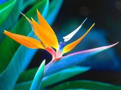 Estrelítzias. Imagens de flores