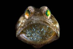Male Jawfish Mouthbrooding Offspring by Steve Kovacs via twistedsifter: Yay Dads! Paternal mouthbrooders are species where the male looks after the eggs. #Jawfish #Steve_Kovacs
