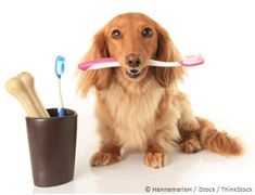 The best approach to preserve your pet's oral health is to proactively manage the plaque and tartar that accumulates on his teeth. http://healthypets.mercola.com/sites/healthypets/archive/2014/01/01/pet-oral-health.aspx