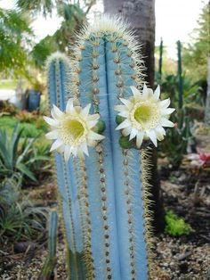 Brazilian Blue Cactus- Pilosocereus azureus - Cactus in bloom