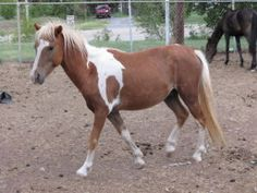 Indian is an adoptable Shetland Pony Pony in Tulsa, OK.  ...