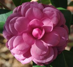 Camellia japonica Early Autumn in my yard 10/28/2015.