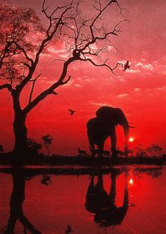 Elephant at Sunset Elephant Love, Elephant Art, African Elephant, Beautiful Creatures, Animals Beautiful, Elephant Silhouette, Tree Silhouette, African Sunset, Mundo Animal
