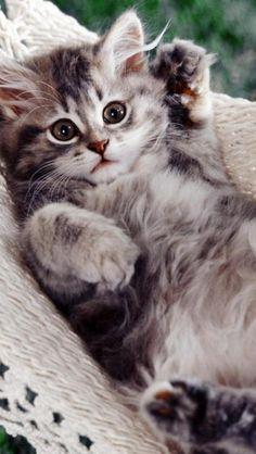 Kitty, Cat, Hammock, Cute, Animal