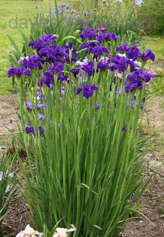 Siberian Iris.  A great addition to any perennial garden.  The blooms don't last long but their foliage stay pretty in an upright clump all season.