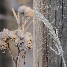 At Maria's Winter Magic, Dandelion, Flowers, Plants, Photos, Pictures, Dandelions, Plant, Taraxacum Officinale