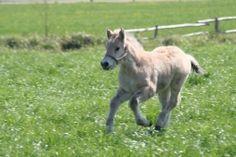 Mlodzikowo.pl - Gospodarstwo agroturystyczne, stadnina koni Fiord Galeria Horses, Animals, Animales, Animaux, Animal, Animais, Horse