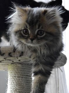 Cute Kittens Doing Funny Things Cute Cats And Kittens Cute Kittens, Cutest Kittens Ever, Kittens And Puppies, Fluffy Kittens, Persian Kittens, Fluffy Cat, Siberian Kittens, Pretty Cats, Beautiful Cats