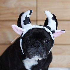 """""""Woof....I mean Moo?"""", French Bulldog in Cow Costume."""