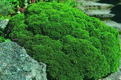 Hinoki, 'Minima'  Chamaecyparis obtusa Slow-growing cultivar for small spaces Zones 5-8 Native to Japan