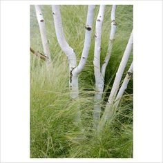 Betula with stipa grass