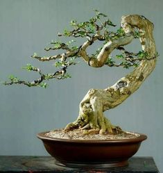Wondering How Bonsai Trees Are Made? Bonsai Tree Types, Bonsai Tree Care, Indoor Bonsai Tree, Mini Bonsai, Bonsai Plants, Bonsai Garden, Ficus, Bonsai Styles, Miniature Trees