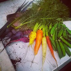 my last harvest. My carrots are finally filling out! Lots of baby beets too. And the peas were harvested from an abandoned plot in the community garden. I'm planning to grow my own peas next season. Food is free!  #growyourown #edibleplants #fromseed #garden #communitygarden #mountaingarden #carrot #rootvegetables #beets #botanicalinterests #peas #foodisfree #harvest #colorful #Padgram