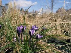 Crocus grow throughout the High Line, so you're more likely to come across this prolific member of the Iris family in our park this spring than you are a daffodil or snowdrop. Photo by Barry Munger