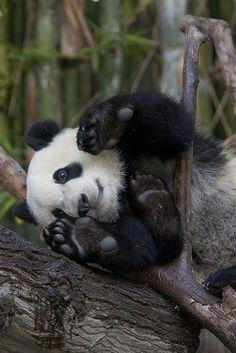 So being so cute baby panda!