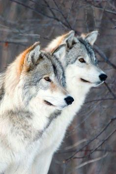 Wolf Companions bonded till death.