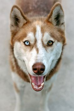 oh god. my ideal dog. husky. two different colored eyes. this really just popped up on my dash.
