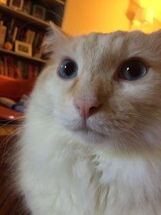 Noodles Cat | Pawshake