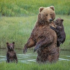 One of the cubs was reluctant to enter the waters of the creek so Mama Bear turned around and allowed the small bear to clamber aboard before continuing ... Photo By @reneedoylephotography #ilovealaksafans #alaskalife #alaska #brownbear #bearcubs #grizzly #mamabear #ilovebears #animalplanet #alaskawildlife #wilderness #offthegrid